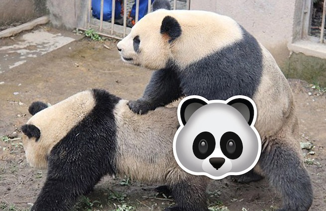 Секс панда