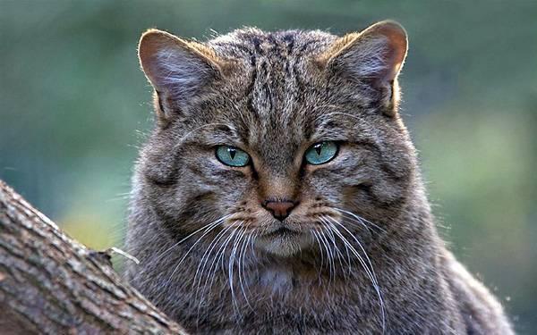 Самые красивые дикие кошки