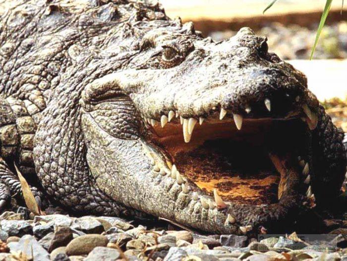 К чему сниться аллигатор