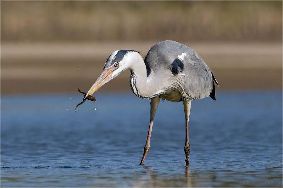Цапли цапли птицы живут вдоль заболоченных территорий, где их добычей станов