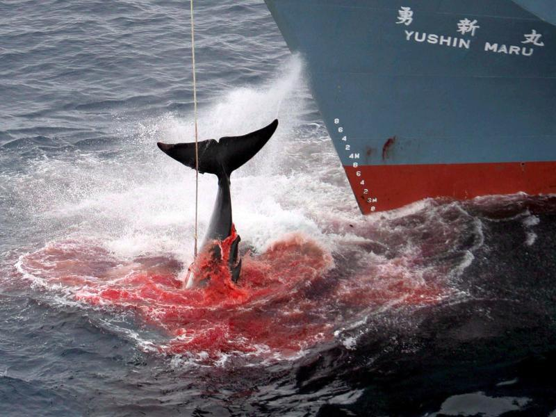 the cruel methods of the whaling